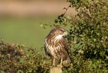 Common  Buzzard  DM1864