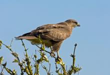 Common Buzzard DM0457