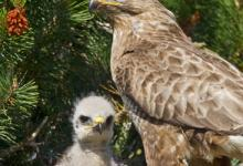 Common Buzzard witth Chick  DMO433