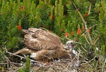 Common Buzzard witth Chick DM0456