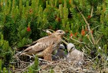 Common Buzzard witth Chicks  DM0434