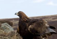 Golden Eagle  DM0447