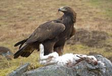 Golden Eagle DM0452