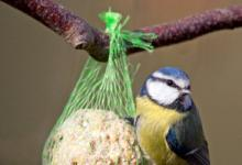 Blue Tit on a Fat Ball DM0174