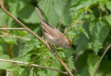 Female Blackcap DM0772