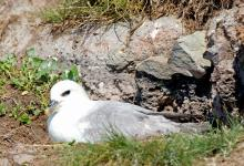 Fulmar on a Nest DM1502