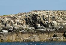 Guillemots on Farne Islands DM1490