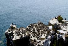 Guillemots on Farne Islands DM1492