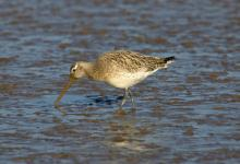 Bar-tailed Godwit DM1101