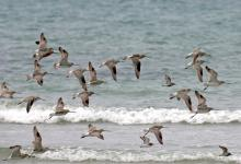 Bar-tailed Godwits DM1073