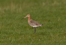 Black-tailed Godwit DM1658