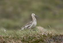 Common Curlew DM01066