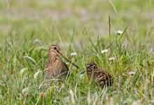 Common Snipe and Chick DM1045
