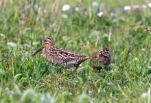 Common Snipe and Chick DM1046