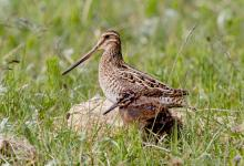 Common Snipe and Chick DM1047