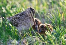 Common Snipe and Chicks  DM1048