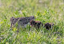 Common Snipe and Chicks DM1049