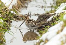 Common Snipe DM2061