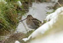 Common Snipe DM2062