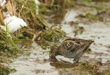 Common Snipe DM2063