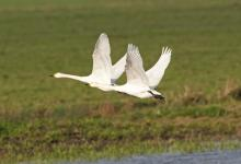 Bewick Swans in Flight DM0966