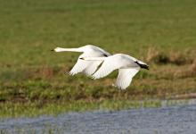 Bewick Swans in Flight DM965