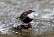 Black Bellied Dipper DM1736