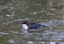 Black Bellied Dipper DM1737