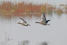 Greylag Geese in Flight DM1695