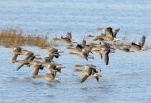 Greylag Geese in Flight DM1696