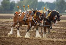 Clydesdale Horses DM1208