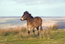 Exmoor Pony DM1195