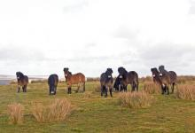 Group of Exmoor Ponies DM1197