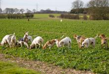 Fox Hounds Working DM0231