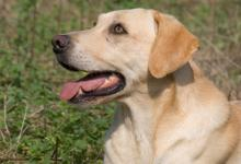 Gun Dog  Yellow Labrador 2 DM0339