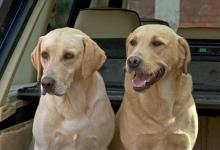 Gun Dogs  Yellow Labradors 1 DM0337