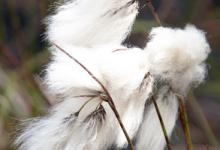 Cottongrass 1 DMOO66