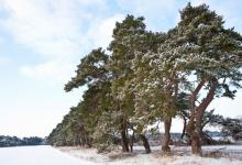 Breckland Trees in Winter DM1465