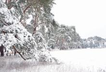 Breckland Trees in Winter DM1466
