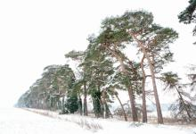 Breckland Trees in Winter DM1467