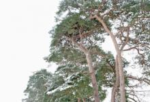 Breckland Trees in Winter DM1468