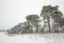 Breckland Trees in Winter DM1469