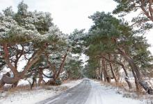 Breckland Trees in Winter DM1470