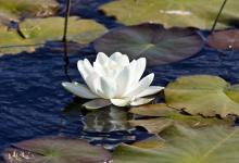 Water Lily, DMO389