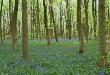 Bluebell  Woods DM0425