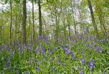 Bluebell Woods 2 DM0420