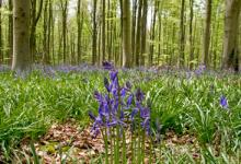 Bluebell Woods 3 DM0422