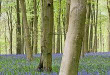 Bluebell Woods DM0423