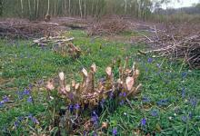 Coppiced Hazel DM0426