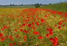 Poppies in the Barley DM0152